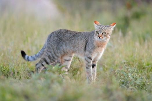 NearEasternWildcat.jpg